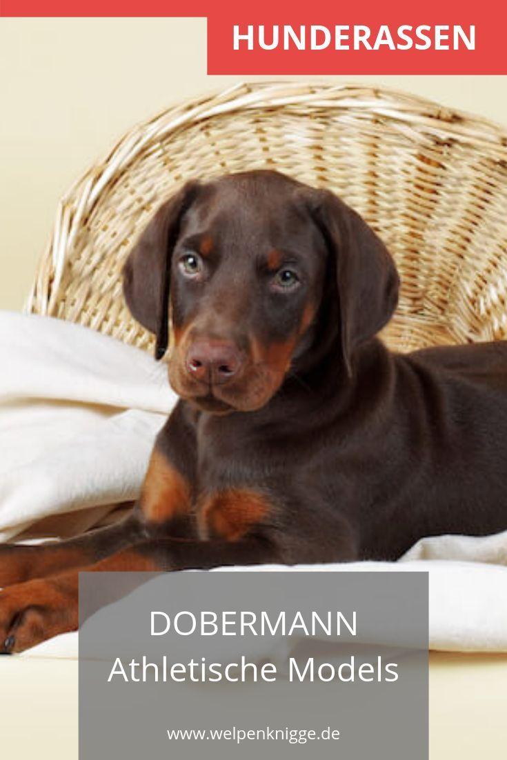 Dobermann Welpen Dobermann Hundeaustralienshepherd Hundebabys Hundebasteln Hundebett Hundebilder Hund Hunde Rassen Dobermann