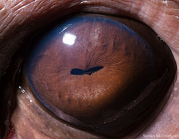 #Animal Eyes. Hippo