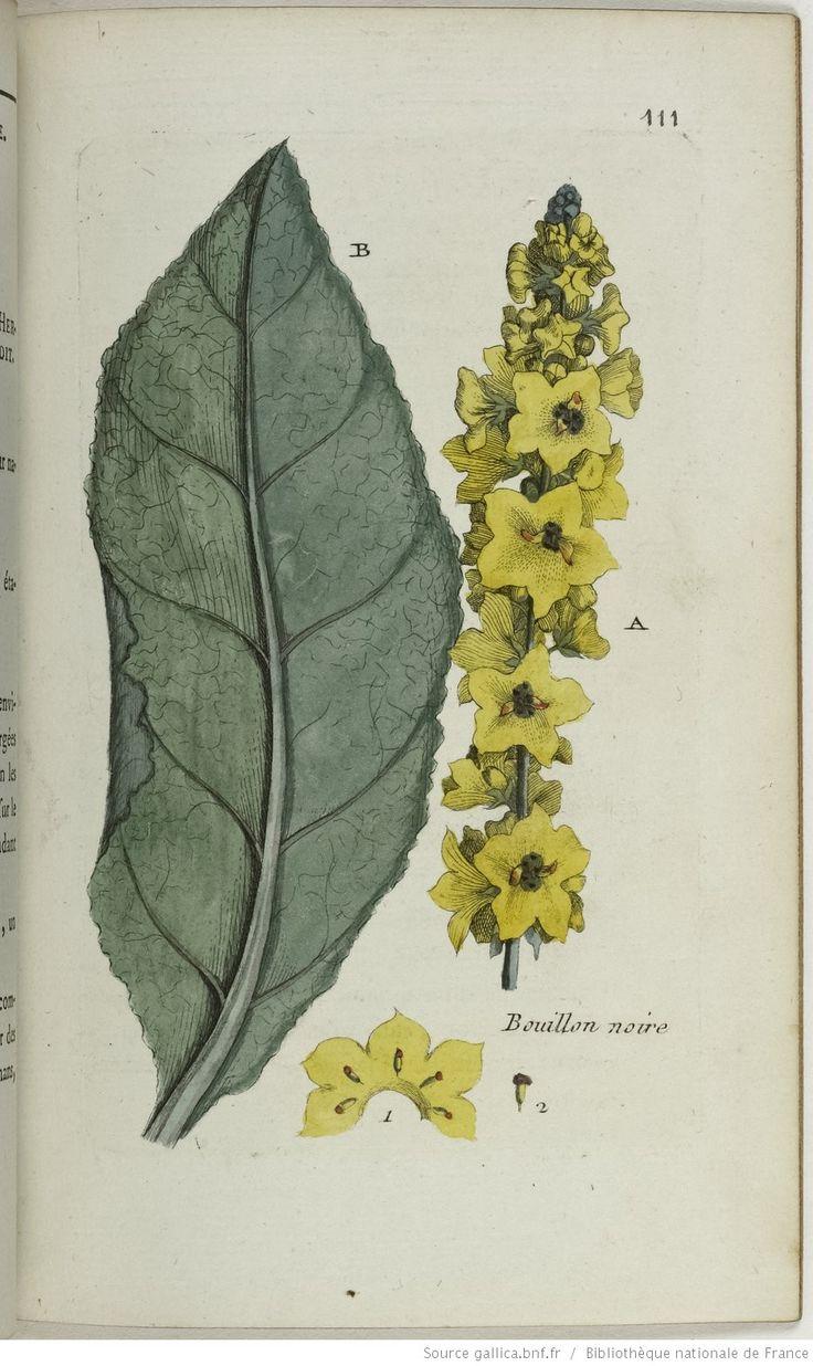 VERBASCUM - Verbascum nigrum. Le bouillon noir / Le bouillon puant / L'herbe à la pousse / Le cierge maudit.