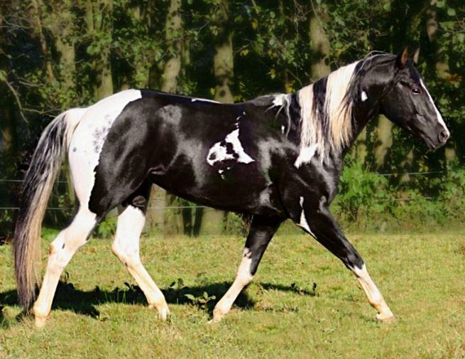 Paint stallion Emphys Dancing King. Black Tobiano, I ...