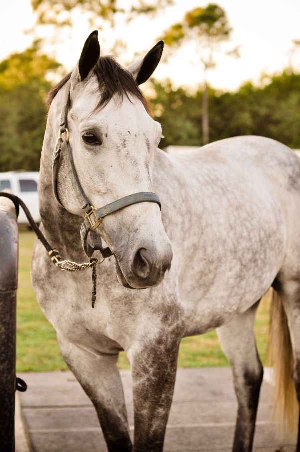 Liviano, Grey Thoroughbred Gelding: Liviano, Grey Thoroughbred Gelding