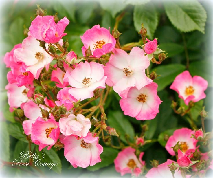 60 Best Garden Shade Tolerant Roses Images On Pinterest