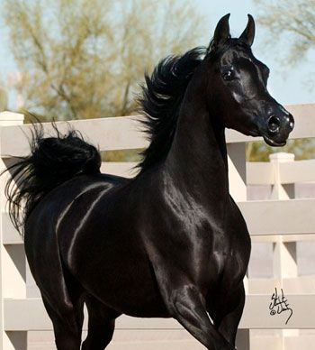 The exotic black filly