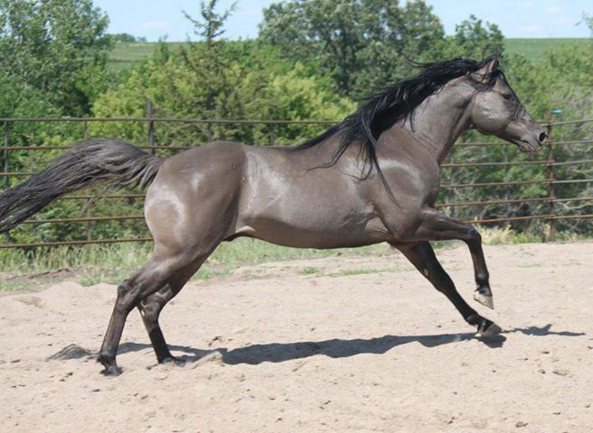 THAT COLOR!!! Grulla Quarter Horse stallion, Berry Sweet Whizard