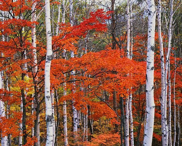 White Birch and Maple Trees in October : Custom Wall ...