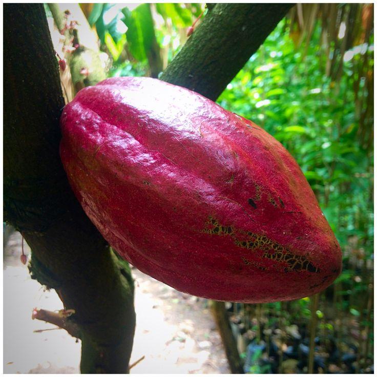 Plantaciones de #cacao Hacienda Cacaotera Jesús María #fabricadechocolates #cacaoorgánico #Comalcalco #Tabasco #México
