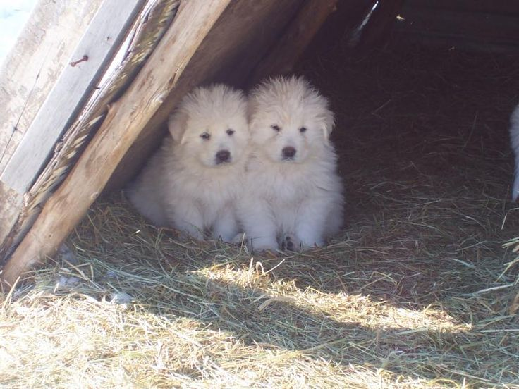 Windance Farm - Maremma Sheepdog- I used to have these as a kid. I would do anything for one of these to be Darby's little sister. Wonderful dogs