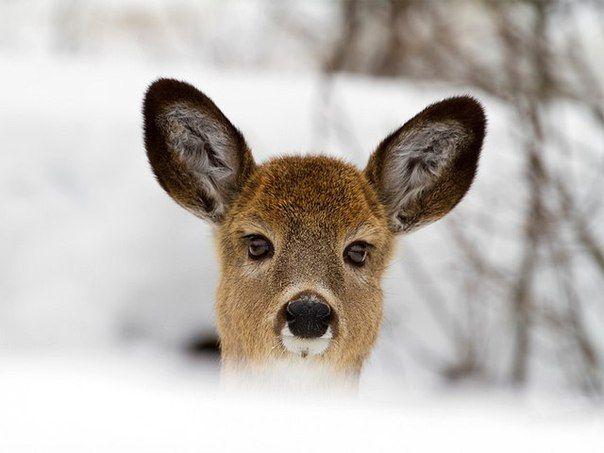 Молодой белохвостый олень