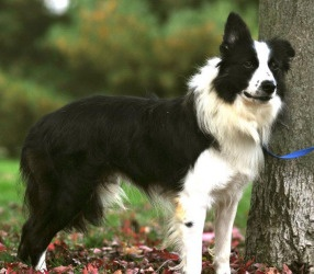 Textbook border collie. One ear up and one down like the famous Tweed!