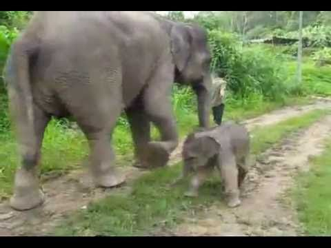Cute Newborn Baby Elephant Walking w/ Mother, Playing in Water - YouTube