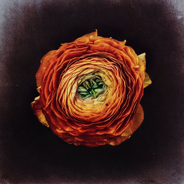 Ranunculus on Behance