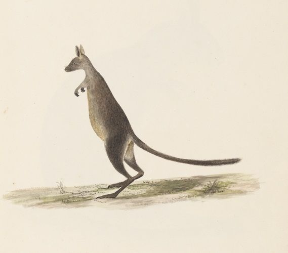 Water color of a kangaroo from a volume of The Lambert Drawings. Part of the Derby Collection, Mitchell Library, State Library of New South Wales : http://www.acmssearch.sl.nsw.gov.au/search/itemDetailPaged.cgi?itemID=940935