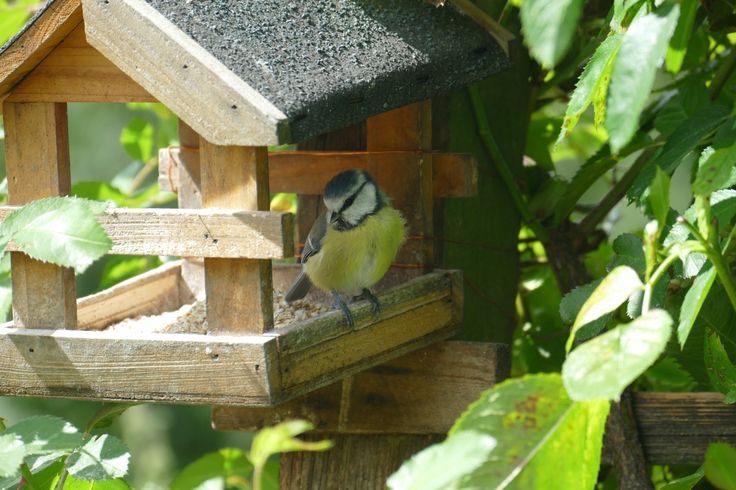 katsella, luonto, lintu, aurinko, rehu, ruoka, viidakko, puutarha, kiinni, syödä, eläimistö, ruokinta, kaunis, sinitiainen, eläinmaailman, luontokuvaukseen, lintuhuone, lintu syöttölaite, pieni lintu