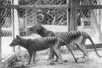 Ressemblant à un chien, le tigre de Tasmanie a été décimé par les fermiers qui l'accusaient de tuer leurs moutons. Le dernier spécimen connu, capturé en 1933, est mort en 1936 dans un zoo de Hobart et il est classé éteint par l'Union internationale pour la conservation de la nature (IUCN) depuis 1982
