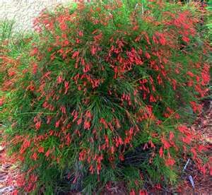 Firecracker Fern.  From spring through fall, red tubular-shaped blossoms cover the stems and attract hummingbirds and butterflies to the garden.  Firecracker ferns grow best in a sunny location with rich, good-draining soil that retains some moisture.