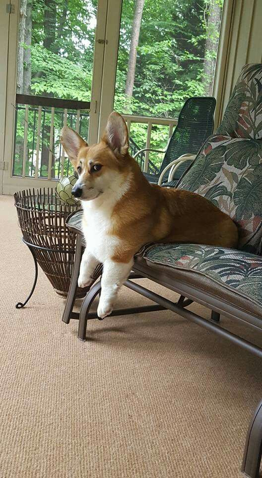 Oliver is one disapproving corgi!