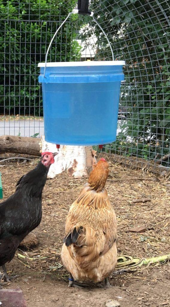 urban-chicken-farming - 8 Boredom Busters For Urban Chicken Farming Backyard Poultry