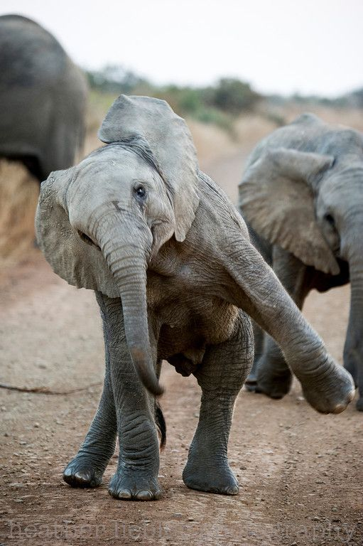 I know not really a fluffy, but still really cute =)  ~~Elephant Calf dance | Elephants of South Africa by heatherlieblerphoto~~