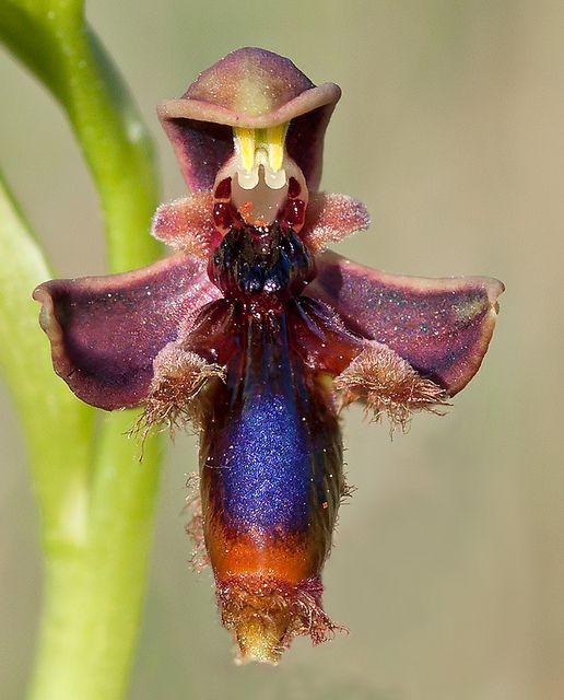 Earwig Orchid