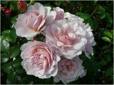 Rose Naming Opportunities DIENIE STEWART (Dicpraise)   An anniversary present.