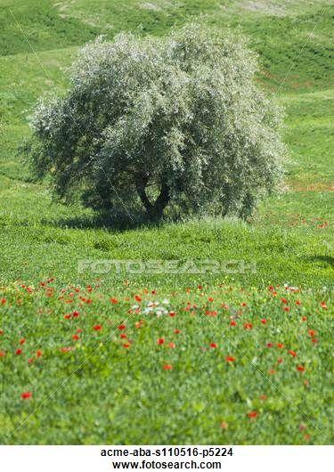 Italy, Tuscany, Tree growing on meadow