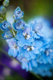 larkspur - July's beautiful blue birth flower | photo by raspberrytart on Flickr