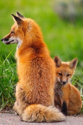 Maman et bébé renard