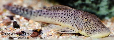 "Chaetostoma milesi ""Spotted Rubber Lip"" L187a"