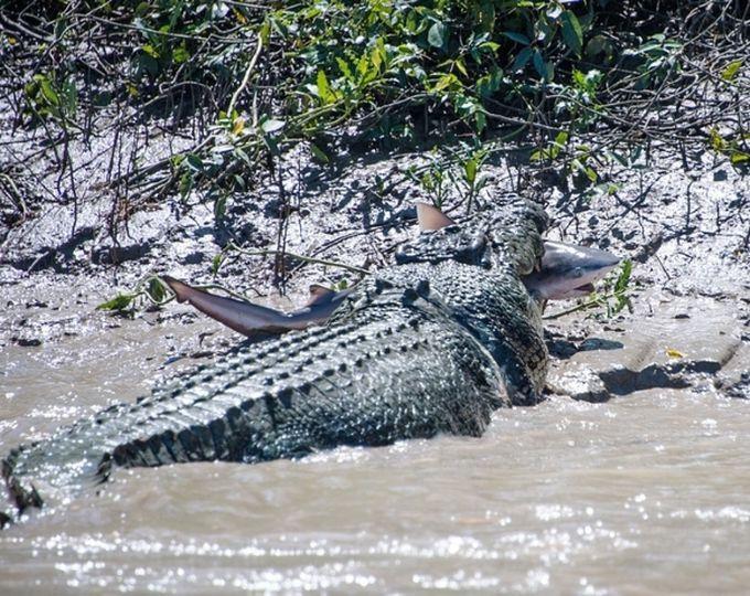 2. Этот крокодил решил закусить акулой.