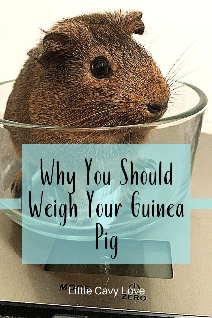 Pin on guinea pig behavior