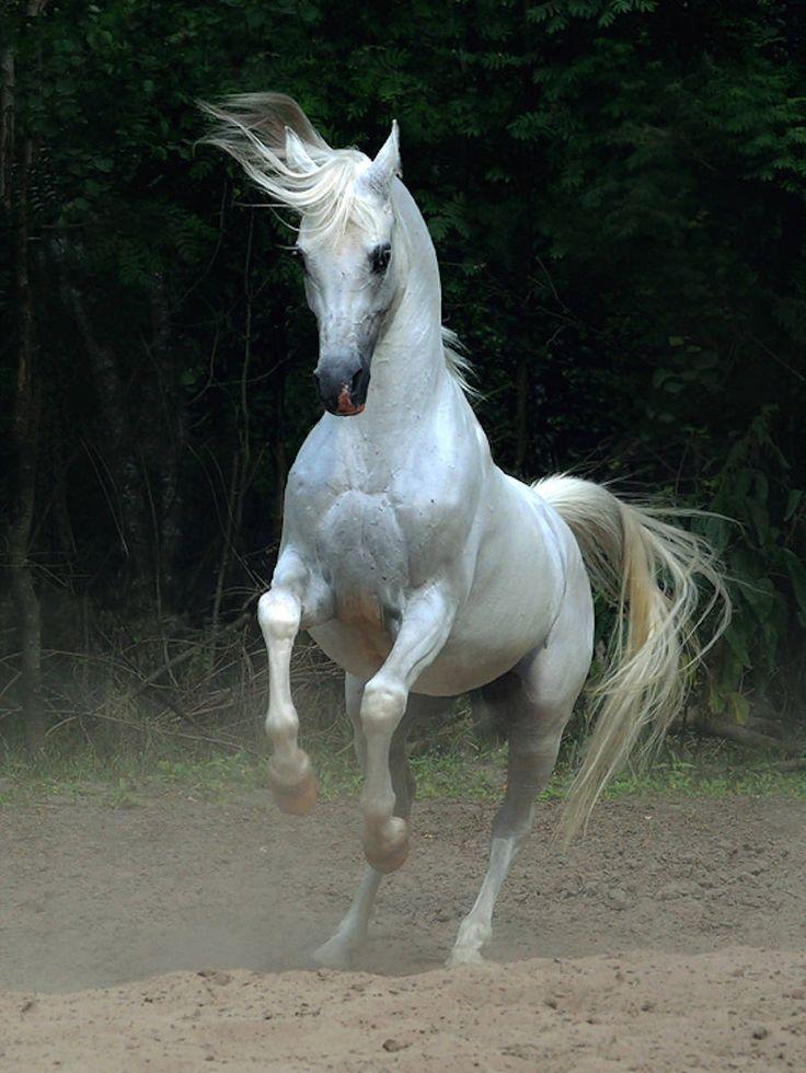 Wojtek Kwiatkowski é um fotógrafo polonês que ama cavalos árabes, e tenta em suas fotos capturar sua beleza e sua alma. Ele é certamente o fotógrafo mais conhecido e mais documentado sobre o assunto; autor de livros sobre procriação, adestramento,...