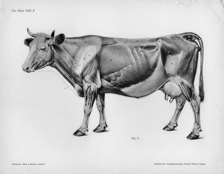 Cow muscle anatomy