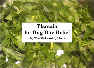 The Welcoming House: Using Plantain for bug bites.......Simple Herbal Remedies Day One