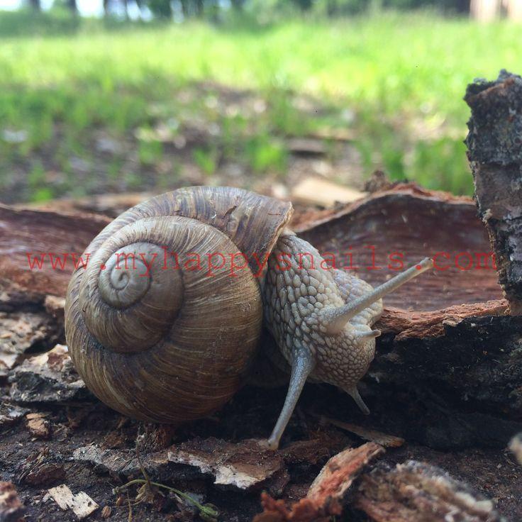 Helix Pomatia wild snail