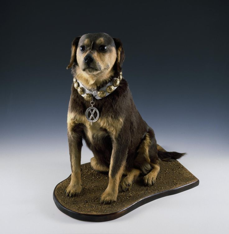 Bob the dog at National War Museum.  Stuffed dog 'Bob', regimental pet from 1853 - 1860, with silver medal on collar.
