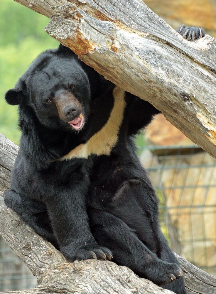 bear asian black bear Berlin Zoo  JN6A3653