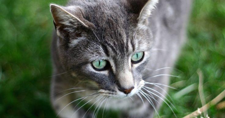 Remedio para el malestar estomacal en un gato