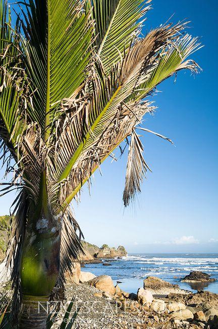 Nikau Palm trees along coastline in Punakaiki, Paparoa National Park, West Coast, Buller Region, New Zealand