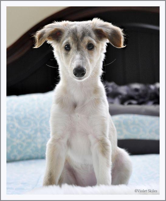 Porsha our Silken Windhound pup