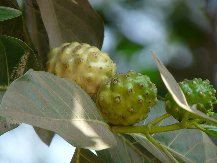 Tanaman Mengkudu dengan nama latin Morinda Citrifolia adalah tanaman yang cukup populer di dunia kesehatan. Di Indonesia sebutan untuk t...