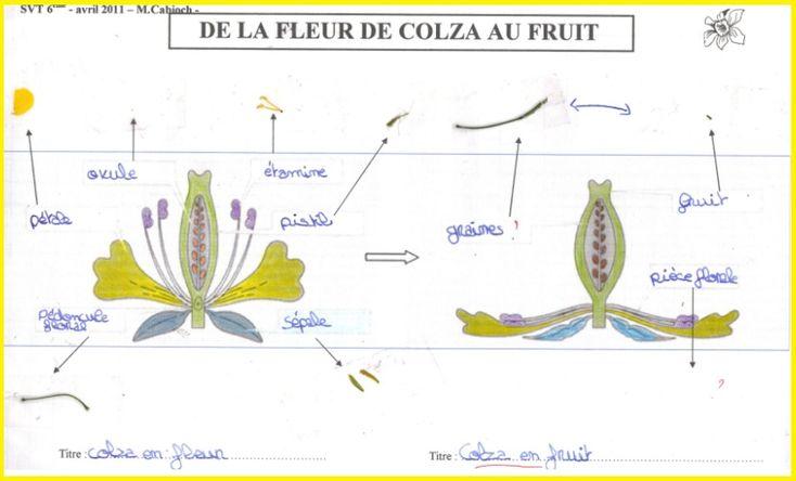 Dissection de la moutarde des champs loupe binoculaire for Graine d interieur