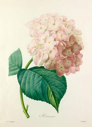 Colour-printed, hand-finished stipple engraving entitled Hortensia. From P. J. Redouté's Choix des plus belles fleurs. Creator: Redouté, Pierre Joseph (1759-1840) (Artist): Date: circa 1827