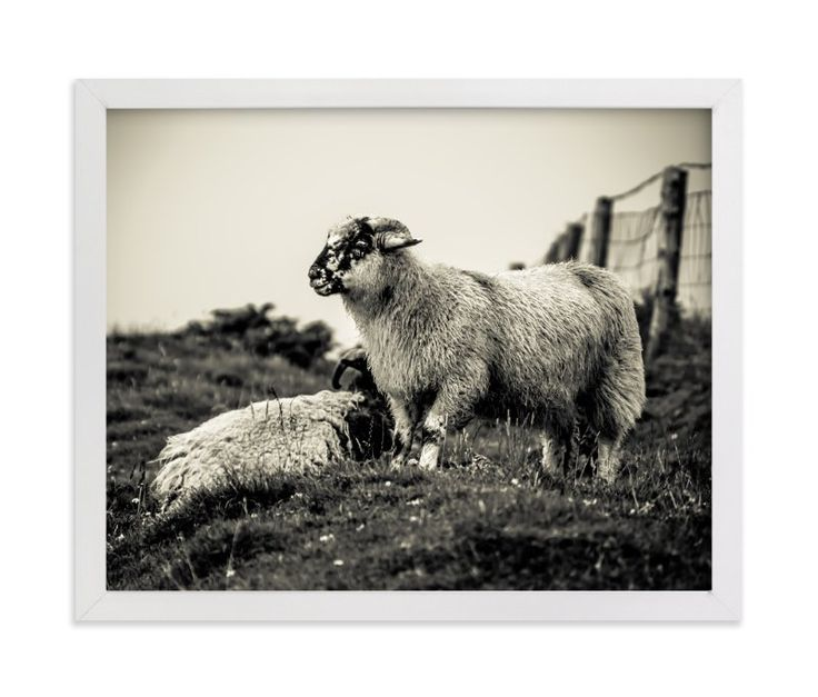 """Sheep at Dingle Peninsula"" - Art Print by AR Photography in beautiful frame options and a variety of sizes."