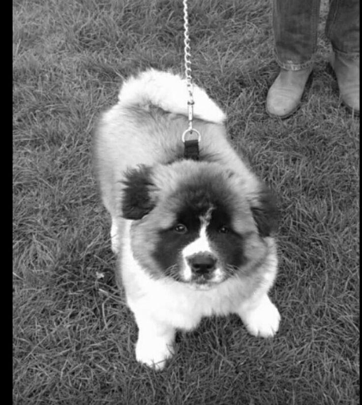 Japanese Akita Long Haired 11 Weeks Puppy Love Pinterest