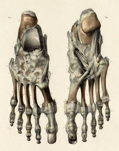 The bones and ligaments of the dorsal (left) and plantar (right) surfaces of the foot.By Nicolas Henri Jacob from 'Traité complet de l'anatomie de l'homme' by Marc Jean Bourgery, 1831.
