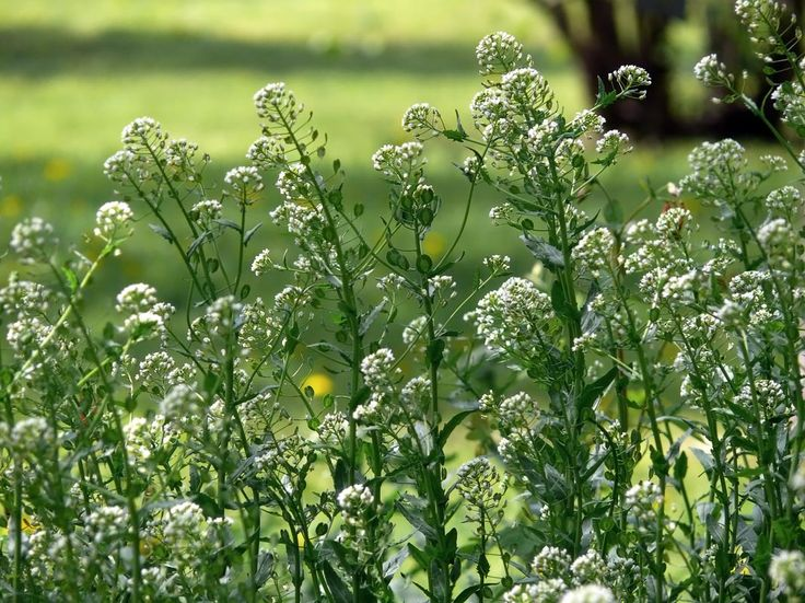 Penninggräs (penningört), Thlaspi arvense - Blomväxter - NatureGate