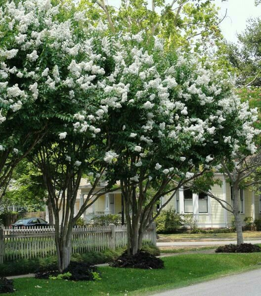 Crepe Myrtle 15'-25' Tall 15'-25' Wide Deciduous Blooms in Summer Plant in Full Sun in Any soil that is Moist Growth Rate is Fast www.greenprintLED.com