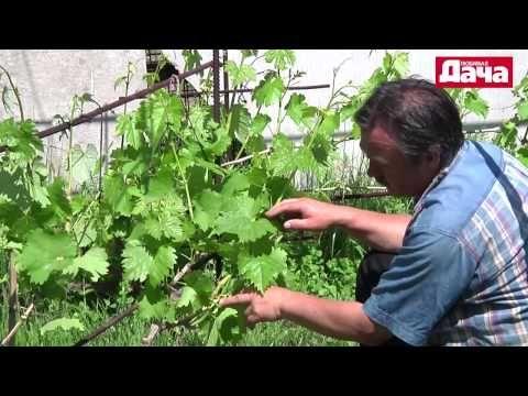 третья вегитация Формировка винограда