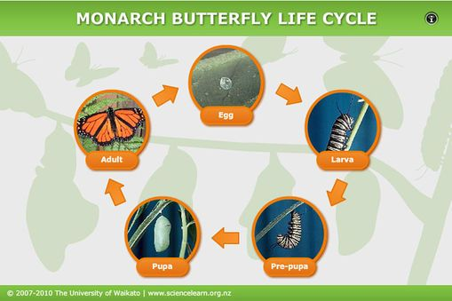 INTERACTIVE - Monarch butterfly life cycle - Click on the stages to learn more about the life cycle of the monarch butterfly.