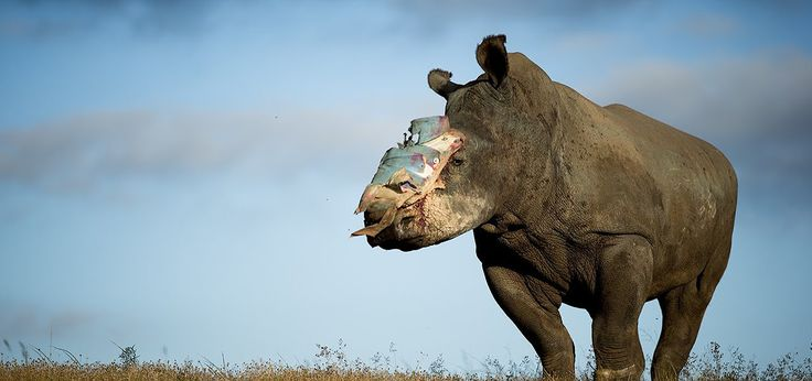 poaching rhinos Africa, Hope, Save the Survivors, braconnage rhinocéros Afrique